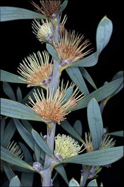 APII jpeg image of Hakea cinerea  © contact APII