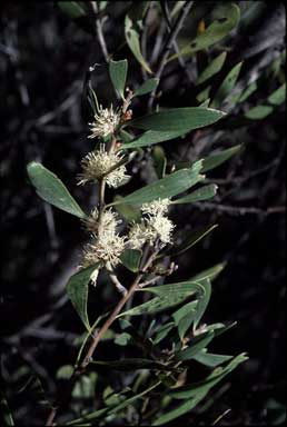 APII jpeg image of Hakea dactyloides  © contact APII