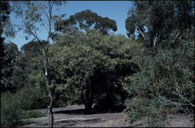 APII jpeg image of Hakea macraeana  © contact APII