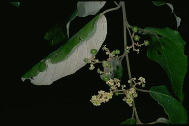 APII jpeg image of Alphitonia obtusifolia  © contact APII