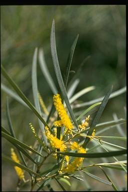 APII jpeg image of Acacia shirleyi  © contact APII