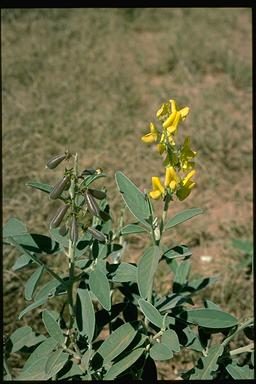 APII jpeg image of Crotalaria novae-hollandiae  © contact APII