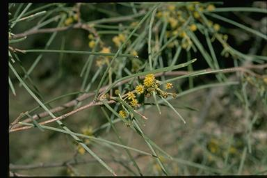 APII jpeg image of Acacia sericophylla  © contact APII