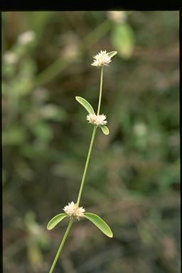 APII jpeg image of Alternanthera ficoidea  © contact APII