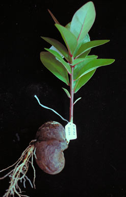 APII jpeg image of Barringtonia asiatica  © contact APII