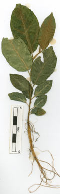 APII jpeg image of Ficus drupacea  © contact APII
