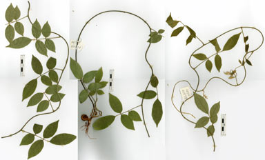 APII jpeg image of Callerya pilipes  © contact APII