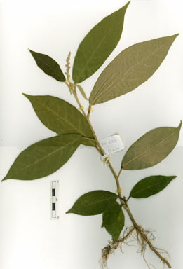 APII jpeg image of Croton densivestitus  © contact APII