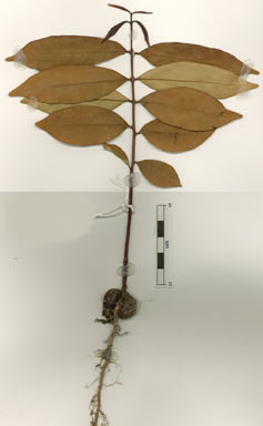 APII jpeg image of Syzygium boonjee  © contact APII