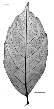 APII jpeg image of Tetrastigma thorsborneorum  © contact APII