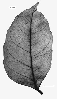 APII jpeg image of Tetrastigma nitens  © contact APII