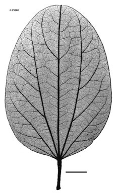 APII jpeg image of Hypserpa decumbens  © contact APII
