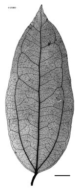 APII jpeg image of Strychnos minor  © contact APII