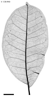 APII jpeg image of Zanthoxylum veneficum  © contact APII