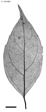 APII jpeg image of Levieria acuminata  © contact APII