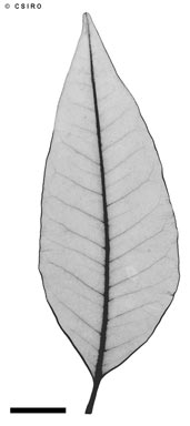 APII jpeg image of Flindersia acuminata  © contact APII