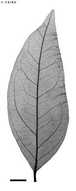 APII jpeg image of Archidendropsis xanthoxylon  © contact APII