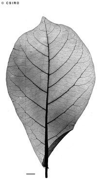 APII jpeg image of Terminalia catappa  © contact APII