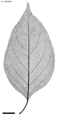 APII jpeg image of Vitex acuminata  © contact APII