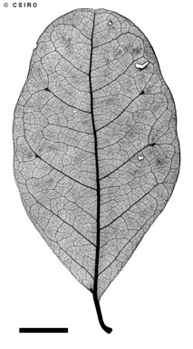 APII jpeg image of Terminalia oblongata subsp. volucris  © contact APII
