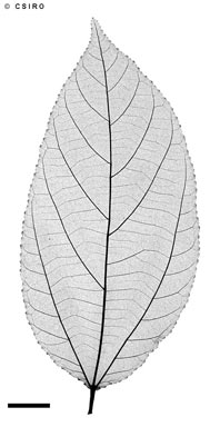 APII jpeg image of Grewia oxyphylla  © contact APII