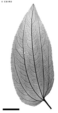 APII jpeg image of Ziziphus oenopolia  © contact APII