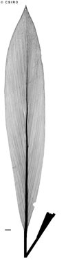 APII jpeg image of Cordyline cannifolia  © contact APII