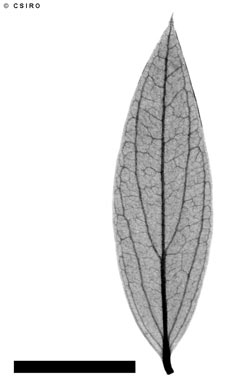APII jpeg image of Carissa lanceolata  © contact APII