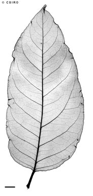 APII jpeg image of Polyscias macgillivrayi  © contact APII