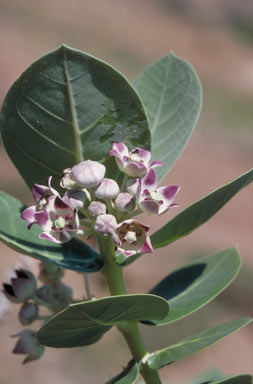 APII jpeg image of Calotropis procera  © contact APII