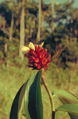 APII jpeg image of Costus potierae  © contact APII