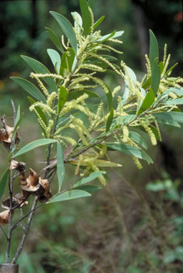 APII jpeg image of Acacia celsa  © contact APII