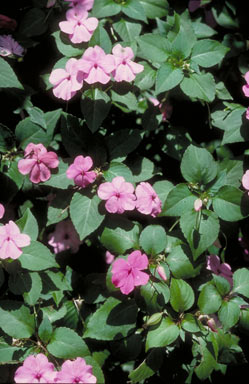 APII jpeg image of Impatiens walleriana  © contact APII