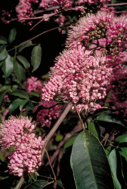 APII jpeg image of Melicope elleryana  © contact APII