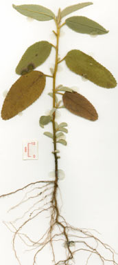 APII jpeg image of Melhania oblongifolia  © contact APII