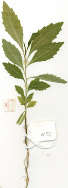 APII jpeg image of Symplocos cochinchinensis var. pilosiuscula  © contact APII