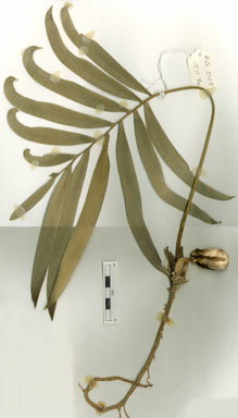 APII jpeg image of Lepidozamia hopei  © contact APII
