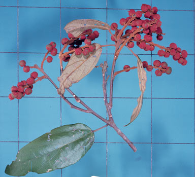 APII jpeg image of Mallotus philippensis  © contact APII