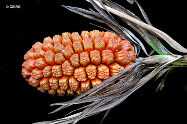 APII jpeg image of Pandanus sp. Russell River  © contact APII