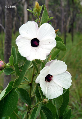 APII jpeg image of Hibiscus forsteri  © contact APII