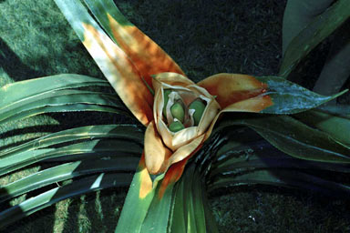 APII jpeg image of Freycinetia marginata  © contact APII