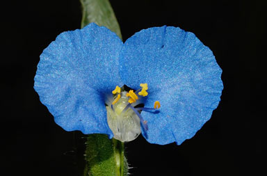 APII jpeg image of Commelina ensifolia  © contact APII