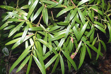 APII jpeg image of Podocarpus elatus  © contact APII