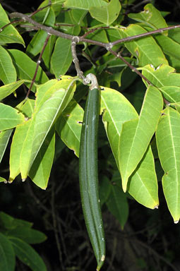 APII jpeg image of Wrightia laevis  © contact APII