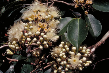 APII jpeg image of Syzygium sayeri  © contact APII