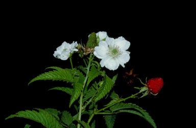 APII jpeg image of Rubus queenslandicus  © contact APII