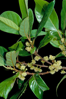 APII jpeg image of Litsea leefeana  © contact APII
