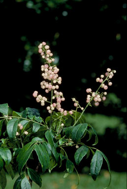 APII jpeg image of Clausena brevistyla  © contact APII