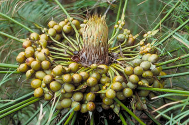 APII jpeg image of Cycas media  © contact APII