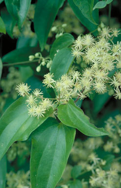APII jpeg image of Clematis pickeringii  © contact APII